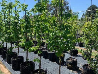 Tree Sales
